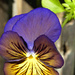 Neon Pansy by sunnygreenwood