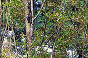 11th Oct 2013 - Woodpecker at Work