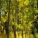 Sunlight Thru Aspens by vickisfotos