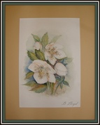 14th Oct 2013 - Watercolour--Hellebore