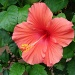 Hibiscus on the deck by brillomick