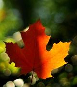 15th Oct 2013 - Maple Leaf