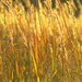 Field of Gold by kareenking
