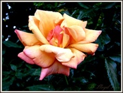 20th Oct 2013 - A Rose , is a Rose , is a Rose ----