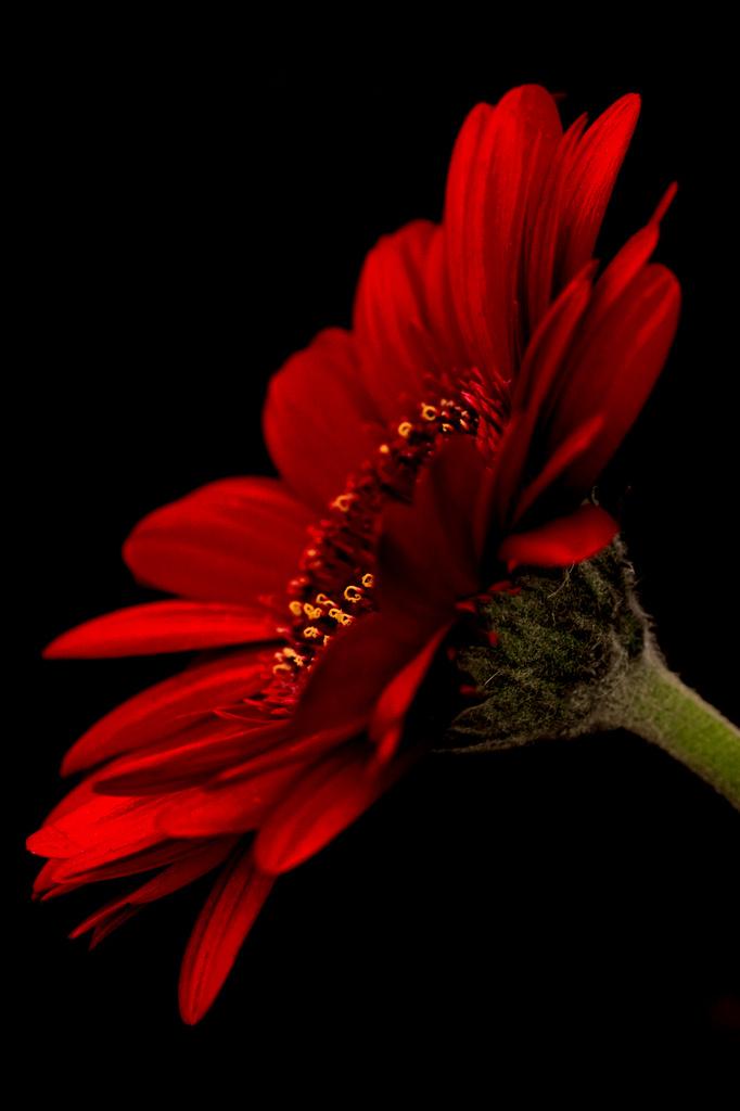 Red Gerbera by shepherdmanswife