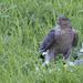 Sparrow Hawk. by gamelee