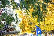 22nd Oct 2013 - Autumn Colour in Salt Lake City