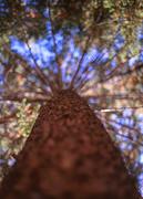 16th Oct 2013 - Skittles Pine
