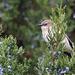 Bird in the Berries:  Phoebe by jyokota