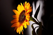 24th Oct 2013 - The Last Sunflower