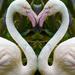 love flamingos  by sugarmuser
