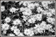 25th Oct 2013 - B&W flowers - I think some sort of mum or aster.