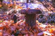 25th Oct 2013 - Lonepine Mushroom