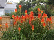 26th Aug 2012 - Red Hot Pokers