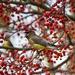 Cedar Waxwings by skipt07