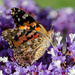 Painted Lady by salza