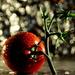 Tomato by jayberg