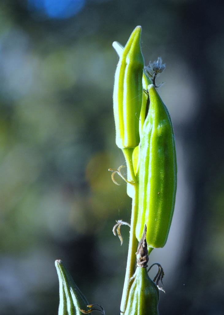 Neon Okra by genealogygenie
