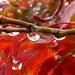 rain - bejewelled acer by quietpurplehaze