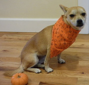 31st Oct 2013 - Dog trick for Halloween