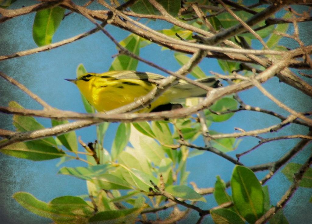 Yellow bird by danette