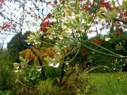 1st Nov 2013 - Rain drops on Fennel...