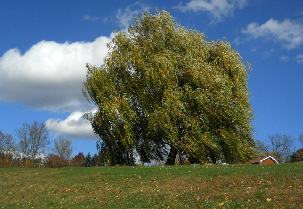 Weeping willow in the wind by mittens