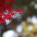Japanese Maple in Sunlight by jyokota
