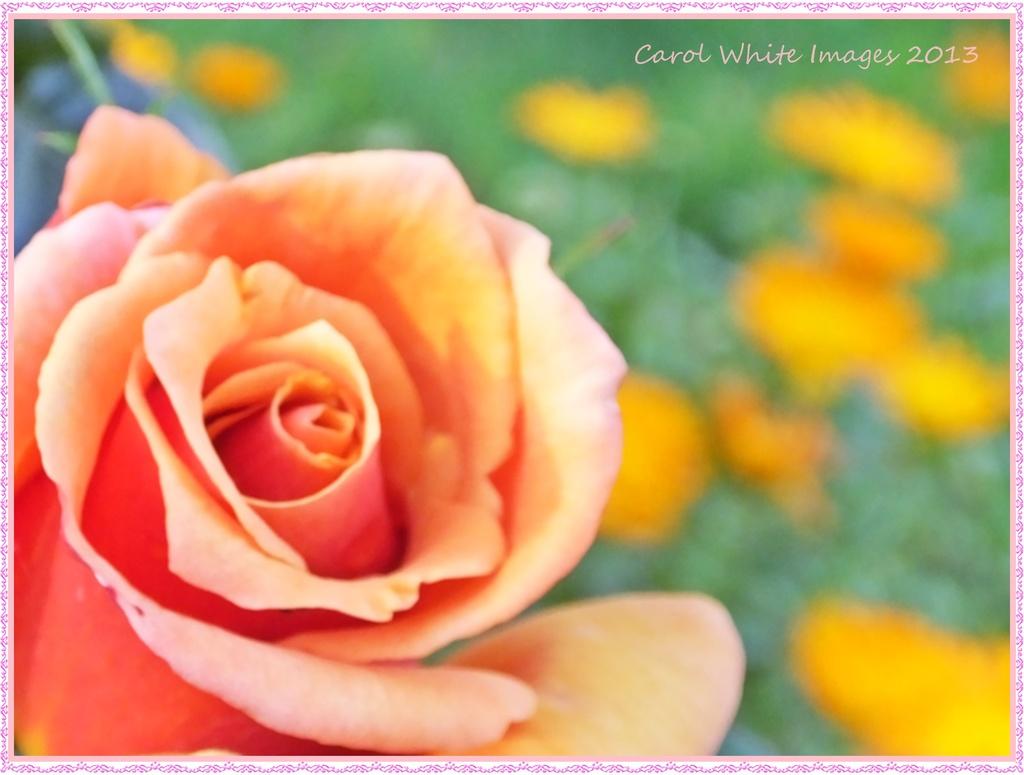 Last Rose Of Summer by carolmw