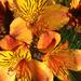 Alstromeria by sunnygreenwood