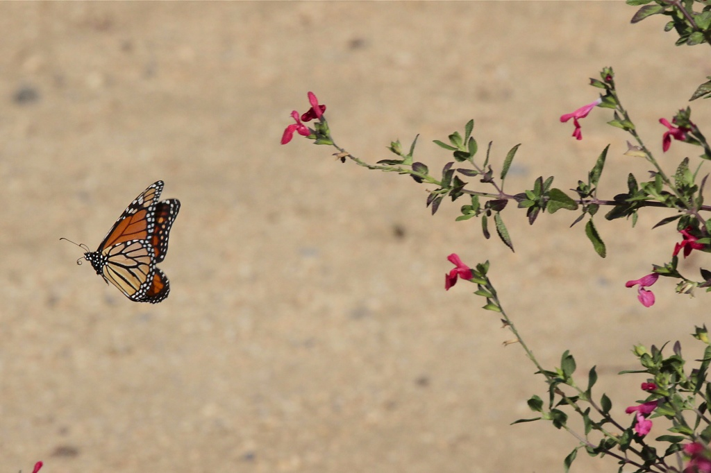 Migrating Monarch by robv