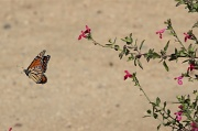 9th Sep 2010 - Migrating Monarch