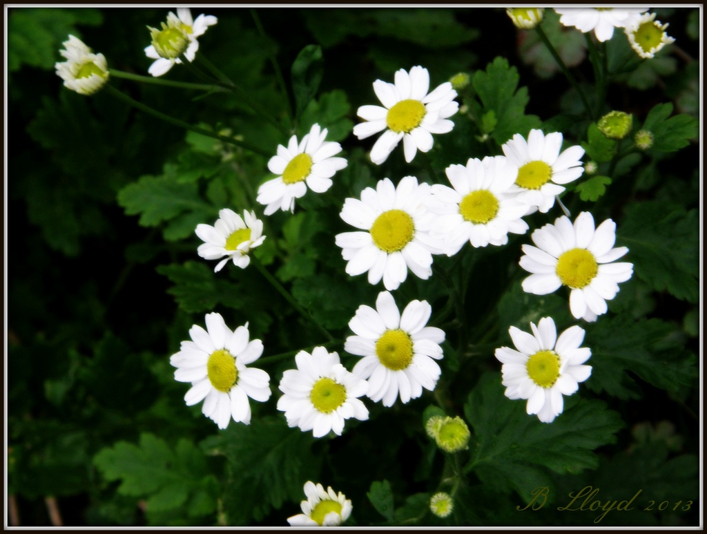 Still bloomin' lovely . by beryl