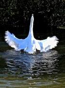 4th Nov 2013 - Swan dance...