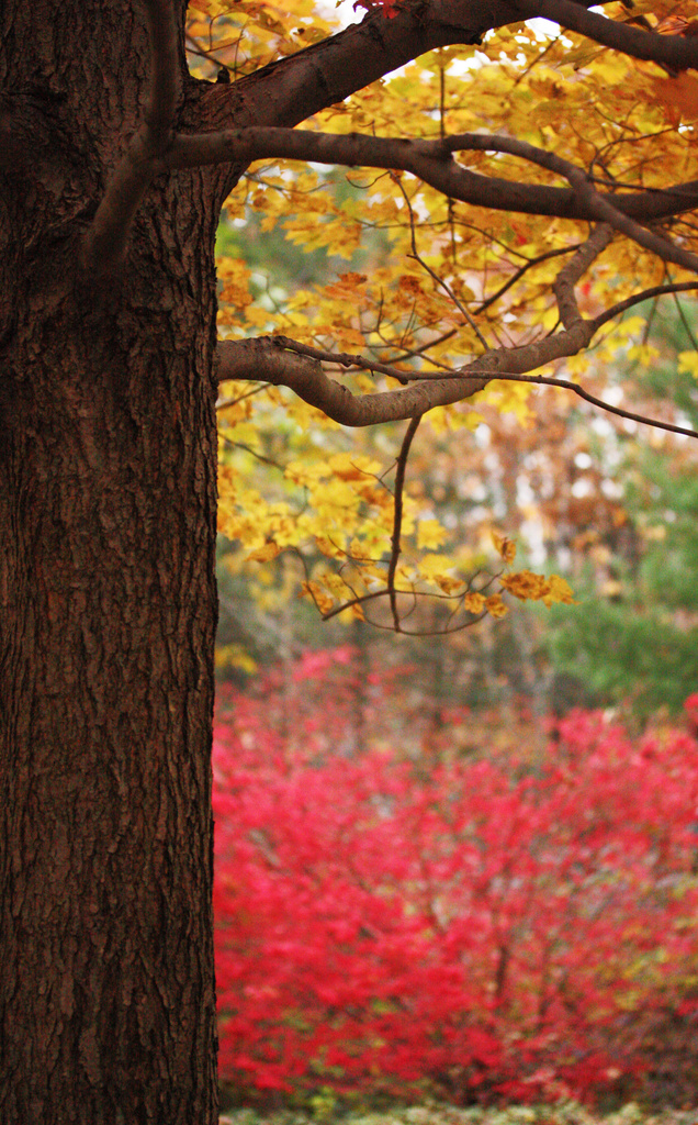 October Glory Maple by mzzhope