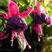Fuchsia by tonygig