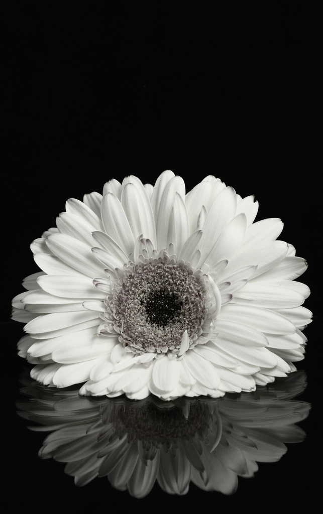 Gerbera by Allison