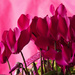 Cyclamen Flowers by pdulis