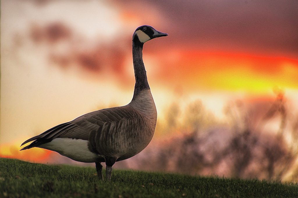 Proud Goose by taffy