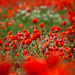10th November 2013 - Lest We Forget by pamknowler