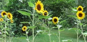 10th Sep 2010 - Sunflower Therapy