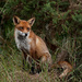 11th November 2013 - Foxy by pamknowler