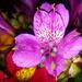Purple Inca Lily by salza
