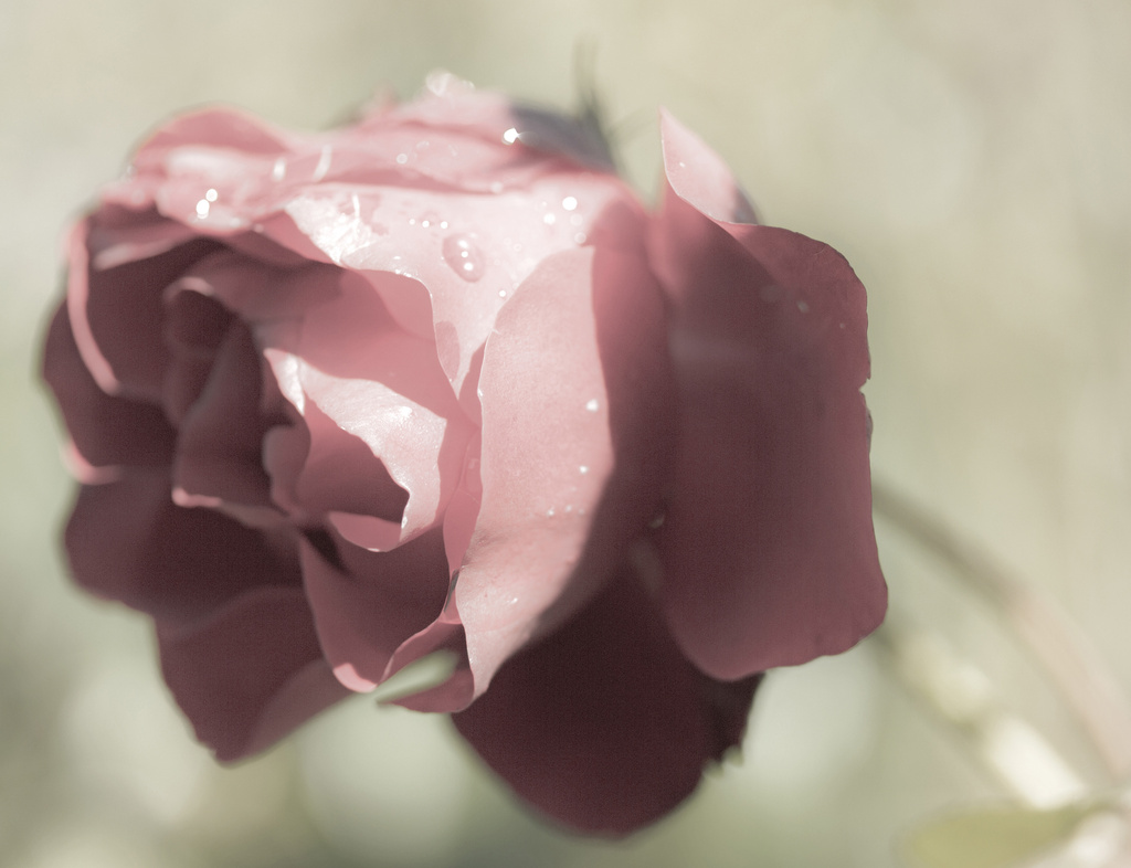 Rose by shepherdmanswife