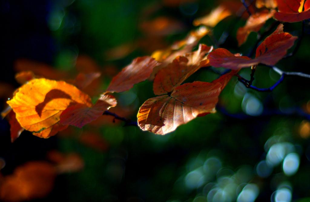 Witch hazel in autumn by jayberg