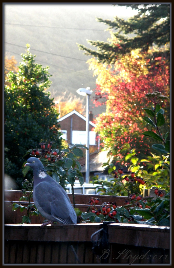 Good morning Mr Pigeon !! by beryl