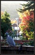 14th Nov 2013 - Good morning Mr Pigeon !!