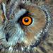 Short Eared Owl by tonygig