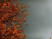 14th Nov 2013 - Whirling leaves,golden and brown,