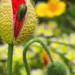 poppy visitor by kali66